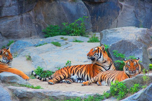 Tiger, Couples, Cat, Dangerous, Animal, Mieze