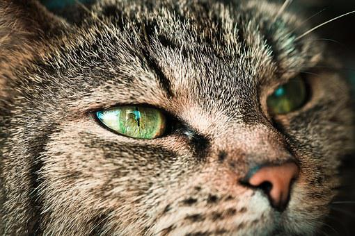 Cat, Animal, Pet, Domestic Cat, Cat's Eyes, Adidas