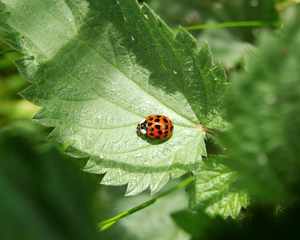 Ladybug, Red, Lucky Charm, Beetle, Close, Luck