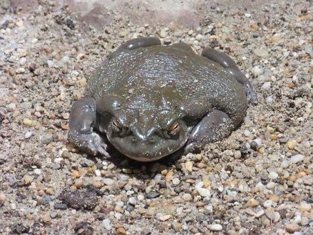 Colorado Toad, Toad, Amphibian, Animal