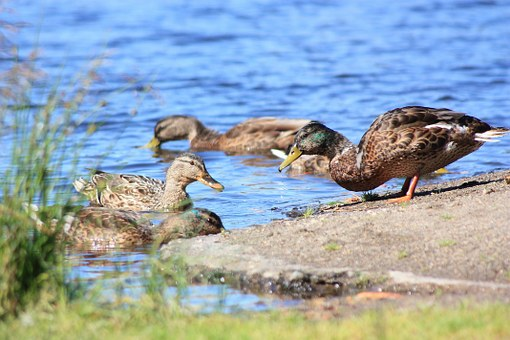 Duck, Lake, Water, Summer, Beach, Rock, Family, Finnish