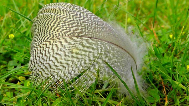 Feather, Bird, Nature, Down, Dove, Plumage, Filigree