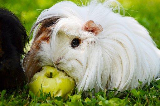 White, Guinea Pig, Perwuwianka, Pig Długowsłosa