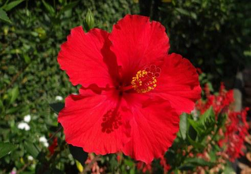Hibiscus, Red, Flower, Shoe Flower, China Rose, Dharwad