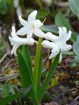 Garden Hyacinth, Hyacinthus Orientalis, Hyacinth