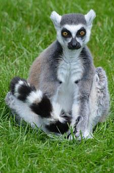 Lemurs, Lemur, Animal, Mammal, Monkey, Maki, Nature