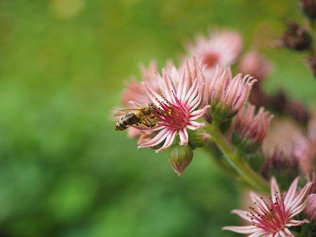 Mountain Houseleek, Sempervivum, Blossom, Bloom, Pink