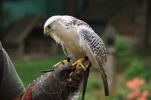 Bird, Raptor, Falconry, Bird Of Prey, Feather, Nature