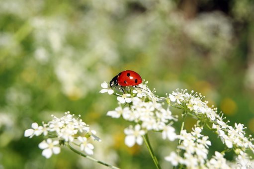 Ladybug, Insect, Flower, Meadow, Nature, Green, Red