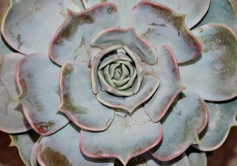 Houseleek, Alpine Houseleek, Plant, Fresh Green, Plants