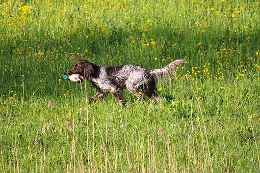 Meadow, Dog, Retrieve, Plastic Duck, Dog Training