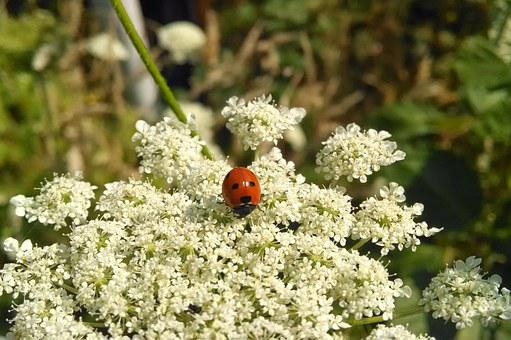 Ladybug, Flower, Insect, Outdoor, Red, White, Nature