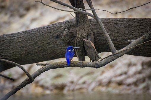 Azure Kingfisher, Bird, River, Ave