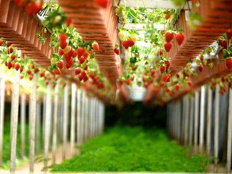 Strawberry, Farms, Gardens, Gardening, Stawberries