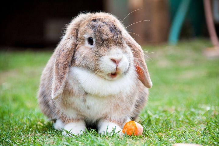 Lop Eared, Rabbit, Hare, Animal, Wildlife, Wild