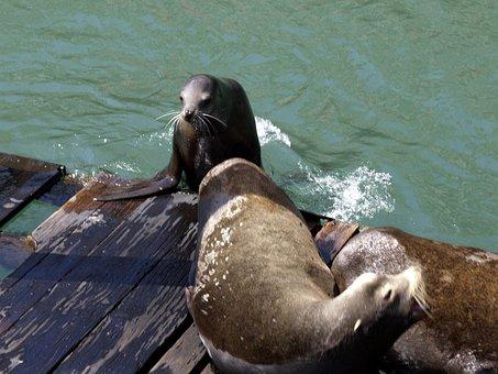 Seal, Animal, Pacific, Ocean, Mammal, Wildlife, Polar