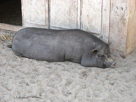 Potbellied Pig, Pig, Black, Animals, Mammals