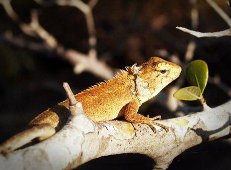 Animal, Background, Basilisk, Camouflage, Chameleon