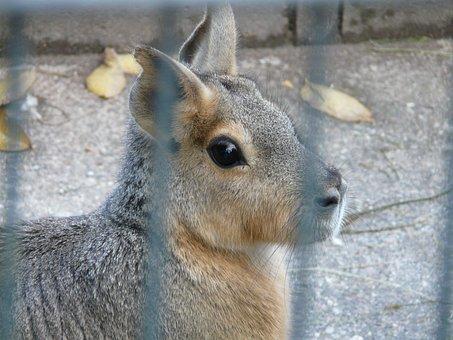 Patagonian Mara, Hare, Cage, Enclosure, Look, View