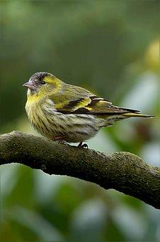 Bird, Siskins, Spinus Psaltria, Garden, Foraging