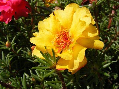 Flowers, Grandiflora, Moss, Portulaca, Purslane, Rose