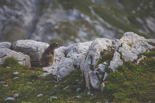 Animal, Beaver, Daylight, Grass, Landscape, Mammal