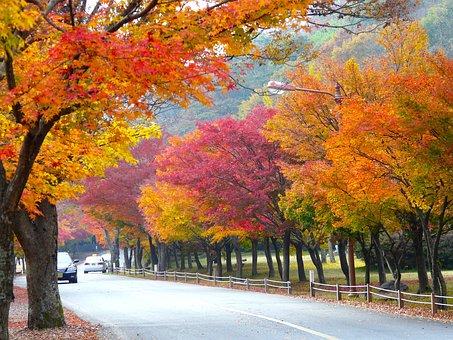 Autumn Season, Colorful Leaves, Maple Leaves, Fall