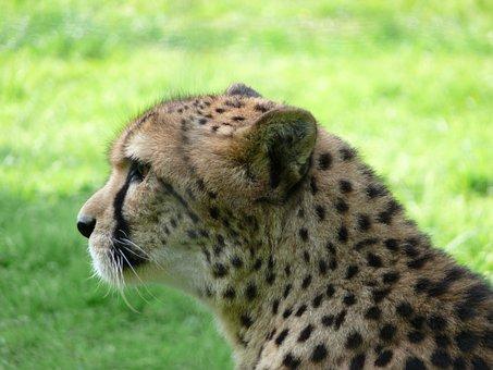 Cat, Predator, Zoo, Meat, Nature, Wildcat, Wild, Africa