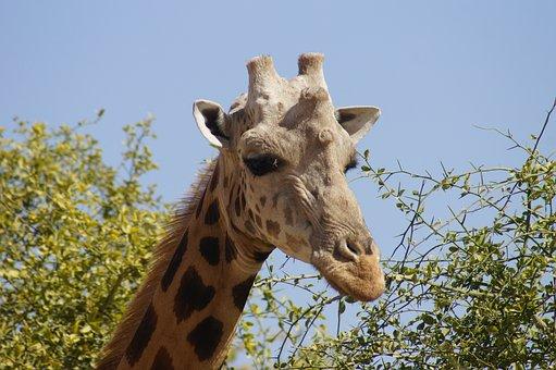 Giraffe, Head, Neck, Male, Animal, Wild, Nature, Fauna