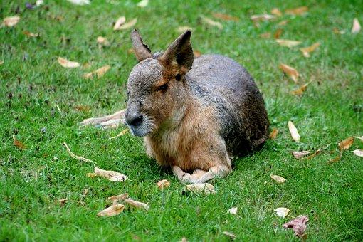 Pampashase, Patagonian Mara, Rodents, Rabbit