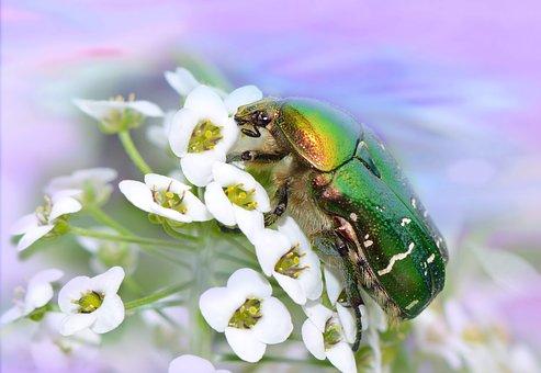 Rose Beetle, Beetle, Insect, Cetonia Aurata