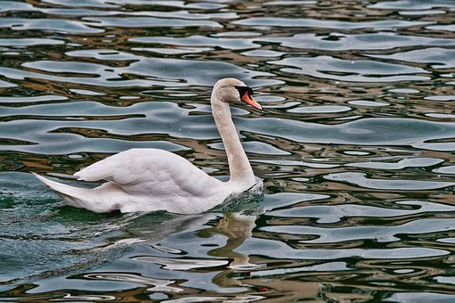 Swan, River, Water's Edge, Reflections