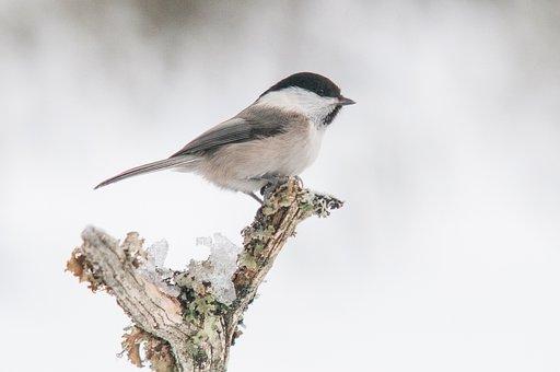 Poecile Montanus, Willow Tit, Bird, Nature