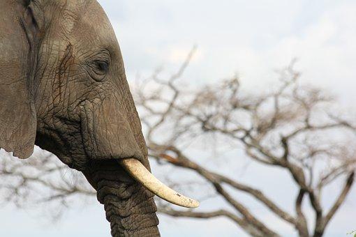 Ivory, Elephant, Tusks, Africa, Tanzania, Trangire