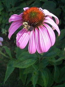 Flower, Flowers, Bee, Bumblebee, Plant, Plants, Botany