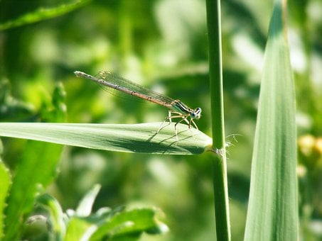 Damsel Fly, Green, Insect, Fly, Wildlife, Bug