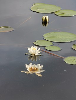 Waterlily, Kelluvalehtinen, Water Plant