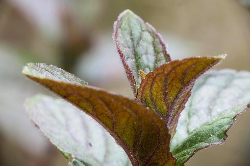 Mint, Schokominze, Lip Flowering Plant, Macro