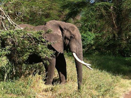 Elephant, Animal, Wildlife, Mammal, African, Jungle