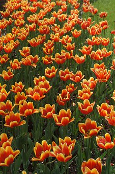 Orange, Yellow, Tulips, Flower, Orange Yellow Tulip