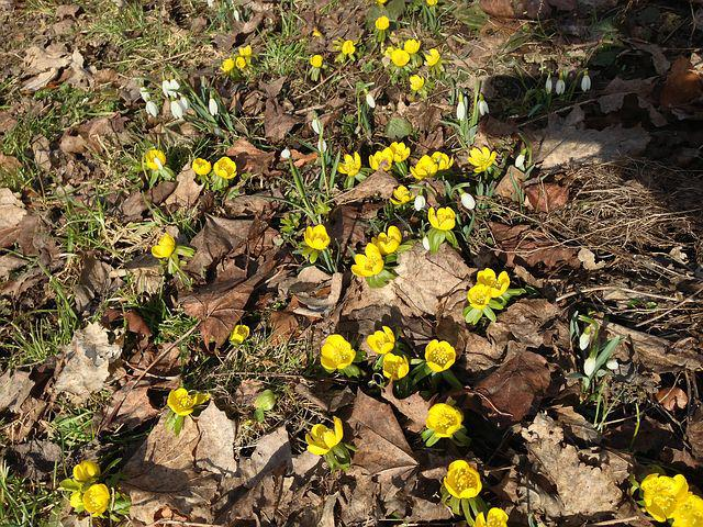 Spring, Yellow, Flowers, Plant, Sweden, Yellow Flowers
