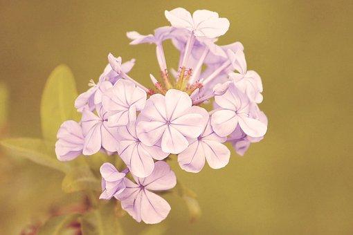Vintage, Blossom, Bloom, Flowers, Phlox, Retro, Shabby
