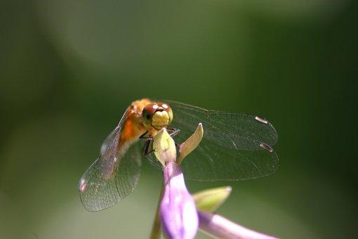 Dragon Fly, Hosta, Summer, Sun, Nature, Organic