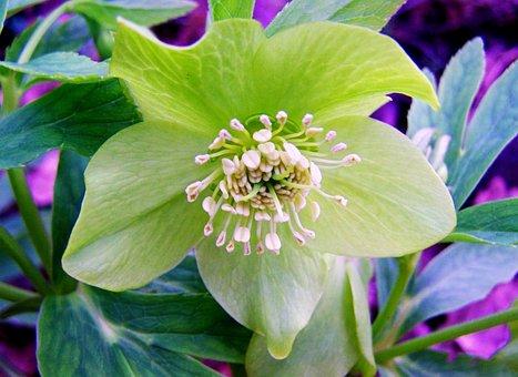 Hellebore, Winter Aconite, Forest Flower