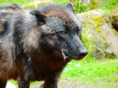 Wolf, Black, Wildlife Park, Animal, Nature