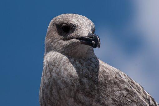 Seagull, Baltic Sea, Travemünde, Animal