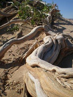 Arak Tree, Desert, Arid, Dry, Root