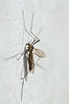 Mosquito, Nephrotoma Appendiculata, Macro, Detail