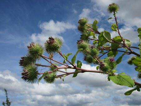Arctium Lappa, Burdock, Burr, Plant, Flora, Blossom