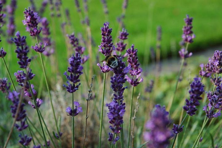 Hummel, Lavender, Purple, Garden, Summer, Animal